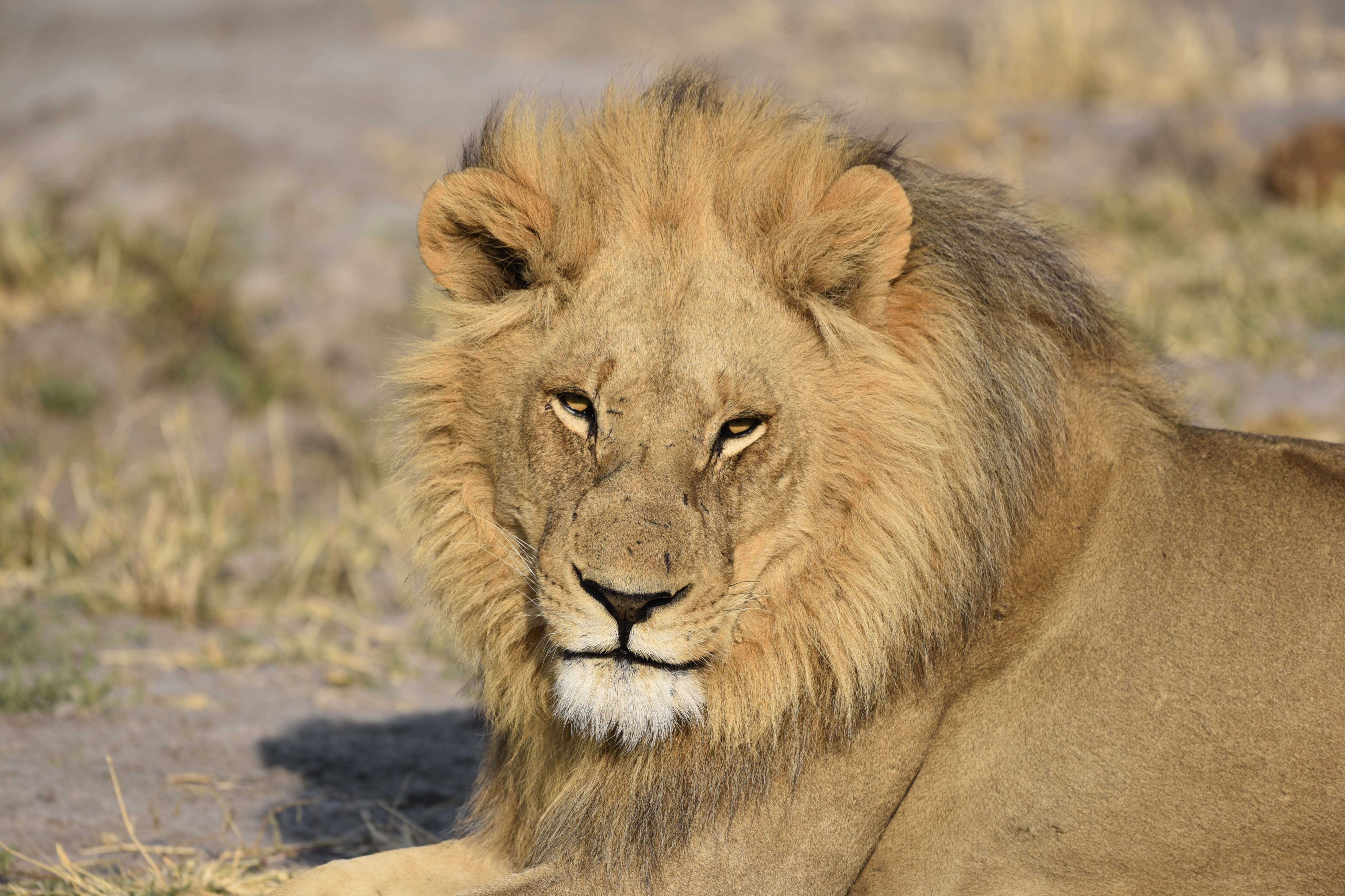 African Lion Potion And Conservation Status